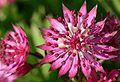 Astrantia (Masterwort Plant).jpg