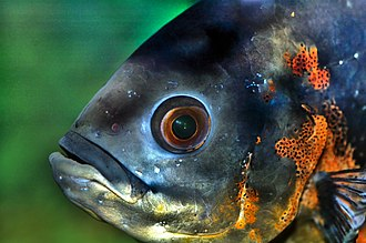 Vision in fishes - An oscar, Astronotus ocellatus, surveys its world
