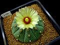 Astrophytum asterias11.jpg