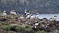 Atlantic Puffins (Fratercula arctica) - Elliston, Newfoundland 2019-08-13 (01).jpg