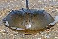 Atlantic horseshoe crab (Limulus polyphemus) (4721579197).jpg