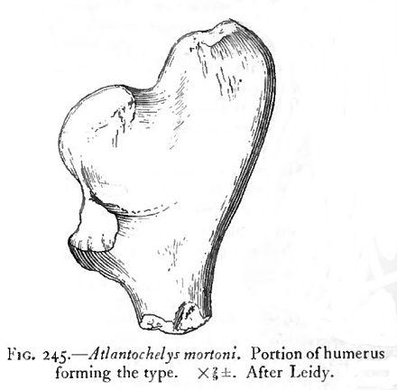 Atlantochelys