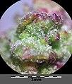 Atriplex intracontinentalis sl33.jpg