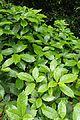Aucuba japonica kz1.jpg