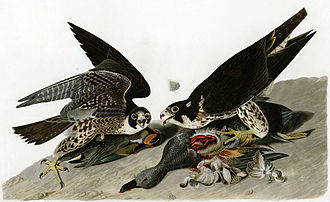 Peregrine falcon - Illustration by John James Audubon