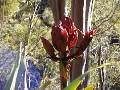 Gymea-Lilien im Heathcote-Nationalpark