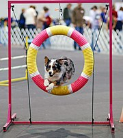 A blue merle in a dog agility competition