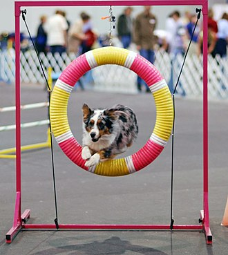 Animal training - A trained dog competing in dog agility.