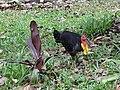 Australian brushturkey (31753421840).jpg