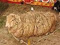 Australian sheep-3-praba pet-salem-India.jpg
