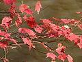 Autumn Leaves Umstead SP NC 3565 (4109404060).jpg