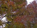 Autumn leaves - geograph.org.uk - 1020145.jpg