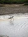 Avocet (Recurvirostra avosetta) - geograph.org.uk - 826612.jpg