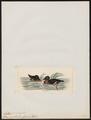 Aythya australis - 1820-1863 - Print - Iconographia Zoologica - Special Collections University of Amsterdam - UBA01 IZ17700039.tif