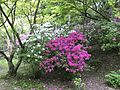 Azalea flowers in Mifuneyama Garden 2.jpg