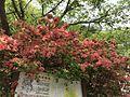 Azalea flowers in Sakurayama Park in Takeo, Saga.jpg