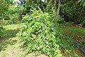 Azulina - Bellaemilia (Plumbago auriculata) - Flickr - Alejandro Bayer.jpg