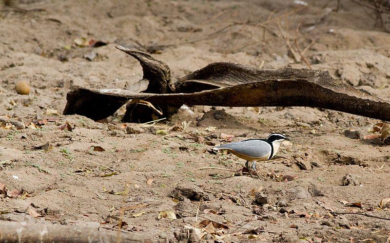 File:BIRDS GAMBIA-1466 (6989719399).jpg