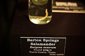 Barton Springs salamander - Preserved specimen