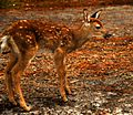 Baby Deer - Another View - Flickr - Andrea Westmoreland.jpg