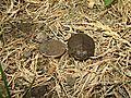 Baby Turtle (14319520804).jpg