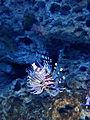 Baby scorpion fish is squee! (8611680086).jpg