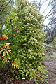 Backhousia citriodora - UC Santa Cruz Arboretum - DSC07405.JPG