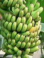 Banana Harvest.jpg