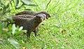Banded Mongooses (Mungos mungo) (31694775977).jpg