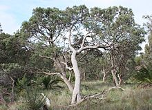 A large tree with a wavy curved pale grey trunk in a dry scrubland type landscape