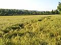 Barley, Sulham - geograph.org.uk - 848955.jpg