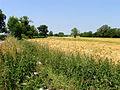 Barley Growing on Farmland near Poulton - geograph.org.uk - 22522.jpg
