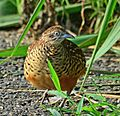 Barred Buttonquail.jpg