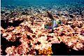 Barriera corallina - panoramio.jpg