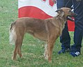 Basque Herder smooth-haired 3.jpg
