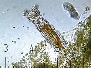Rotifer - A bdelloid rotifer
