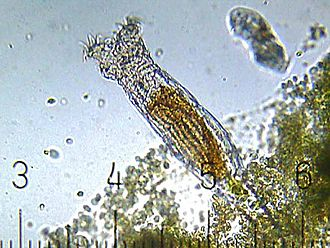 Rotifer - A bdelloid rotifer