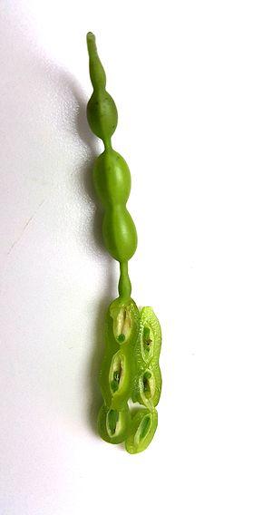 Styphnolobium japonicum - the beans