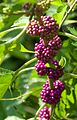 Beauty Berries Coming Into Color (6069681094).jpg