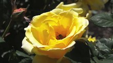 File:Bee On Yellow Rose.ogv