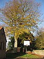 Beech tree, Linton Village Hall - geograph.org.uk - 1585067.jpg