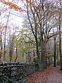 Beech trees by the wall in Leigh Woods - November 2013 - panoramio.jpg