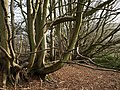 Beeches on Core Hill - geograph.org.uk - 753212.jpg