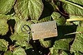 Begonia Boomer 3zz.jpg