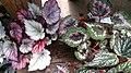Begonia Rex 2.jpg