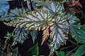 Begonia serratipetala kz01.jpg