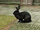 Belgische haas (konijnenras).jpg