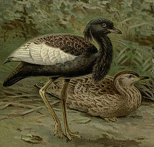 Bengal florican - Male (standing) and female