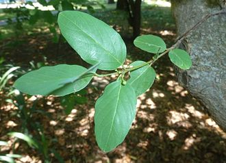 Pinnation - Pinnate venation in each leaf, in this case alternate-pinnate
