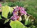 Bergenia Flowers (42300894934).jpg